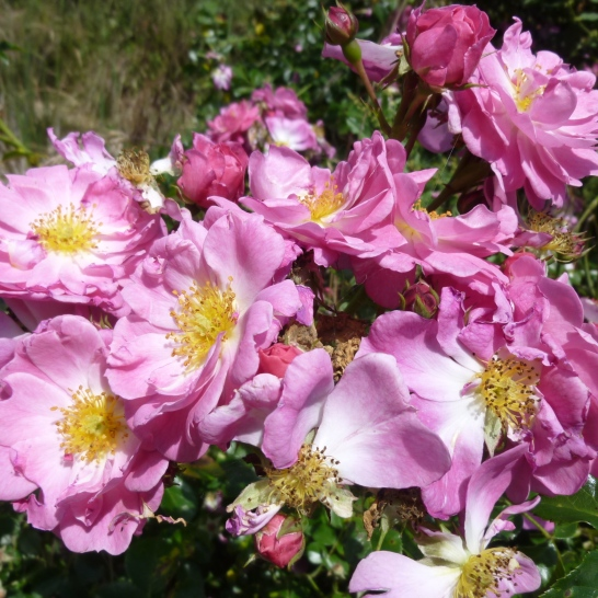 Old pink rose
