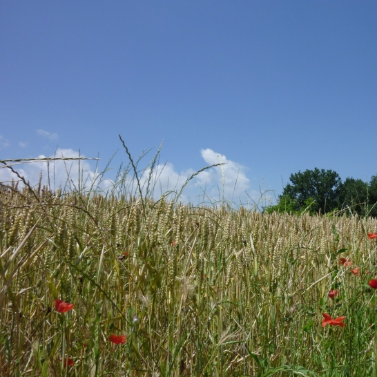 Wheat and a few poppies