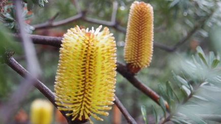 Banksia candle