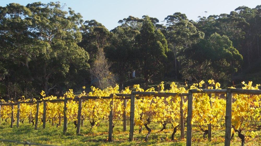 Autumn colour on the vines