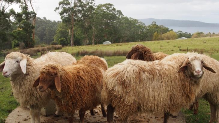 The girls - sheep at Grandvewe