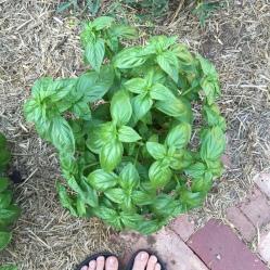 our garden. Basil - basilico