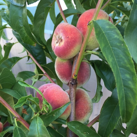 Old fashioned flat peaches