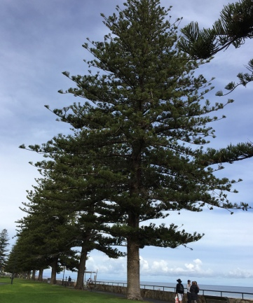 Norfolk Island pines say Adelaide Beaches.