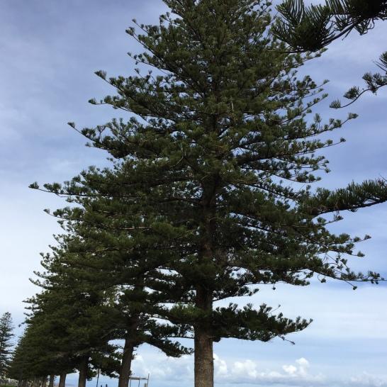Norfolk Island pines say Adelaide Beaches.