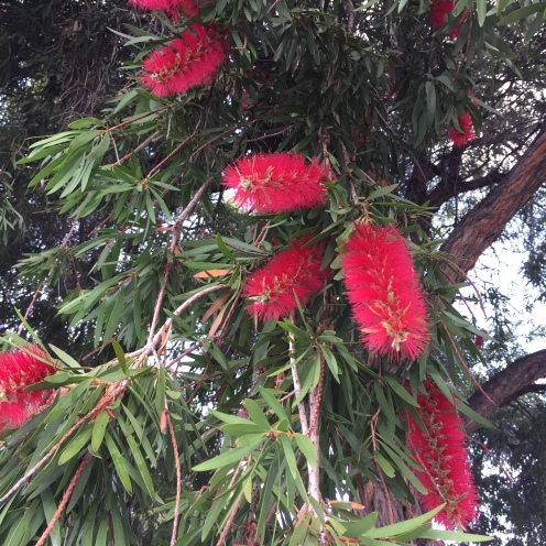 The bottlebrush always blooms for ANZAC Day.