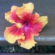 Big hibiscus.